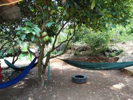 Hammocks under the pomelo tree